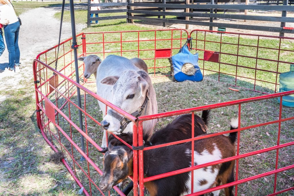 Animals in enclosed area as part of petting zoo.